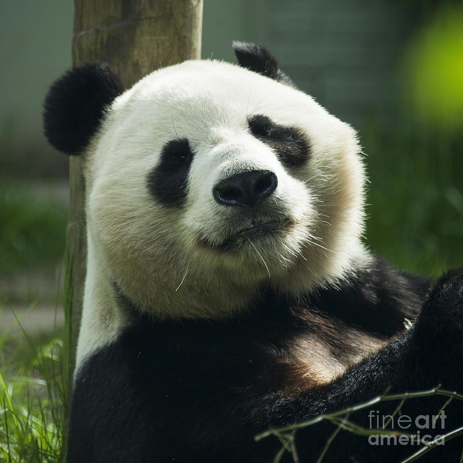 Sunshine The Panda Photograph