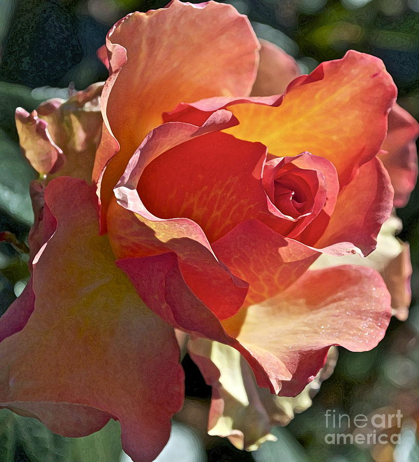 Rose Photograph - Sunstruck by Gwyn Newcombe