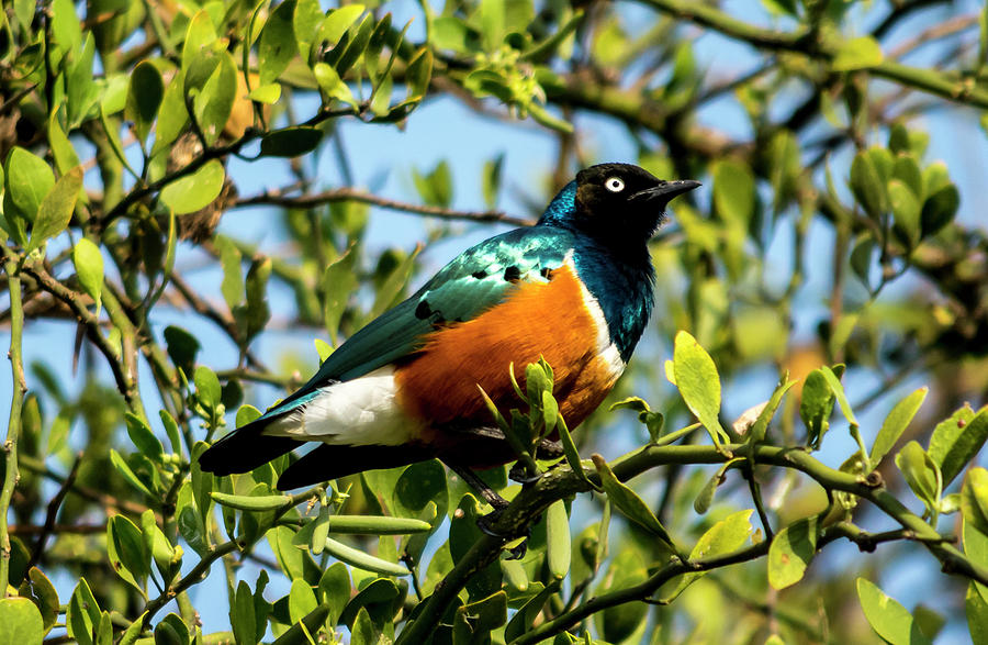 Superb Starling Photograph