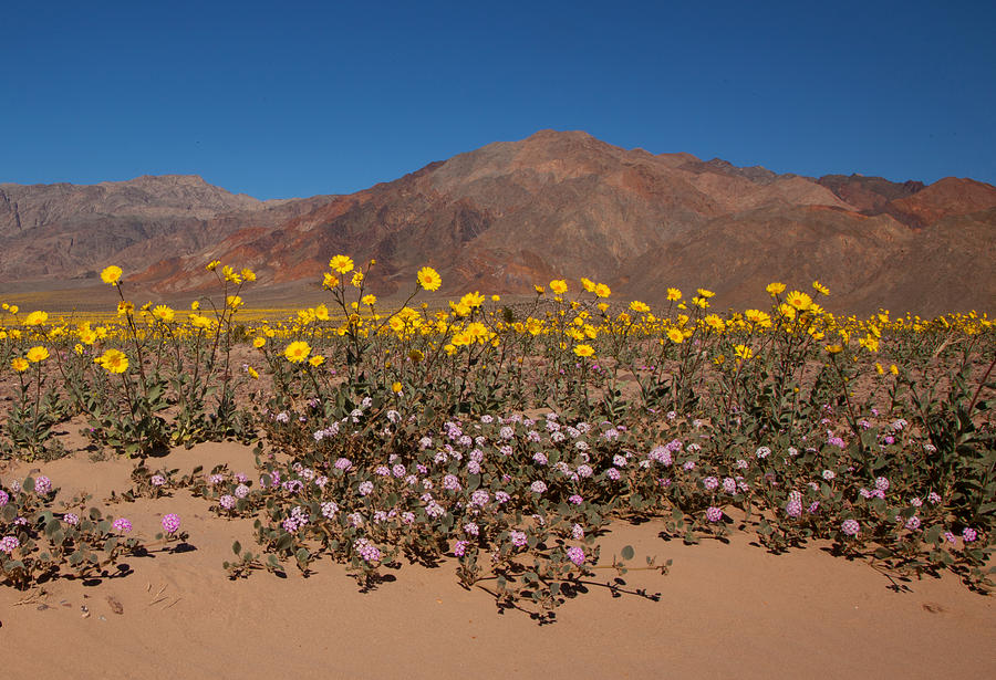 Superbloom at Death Valley by Susan Rovira