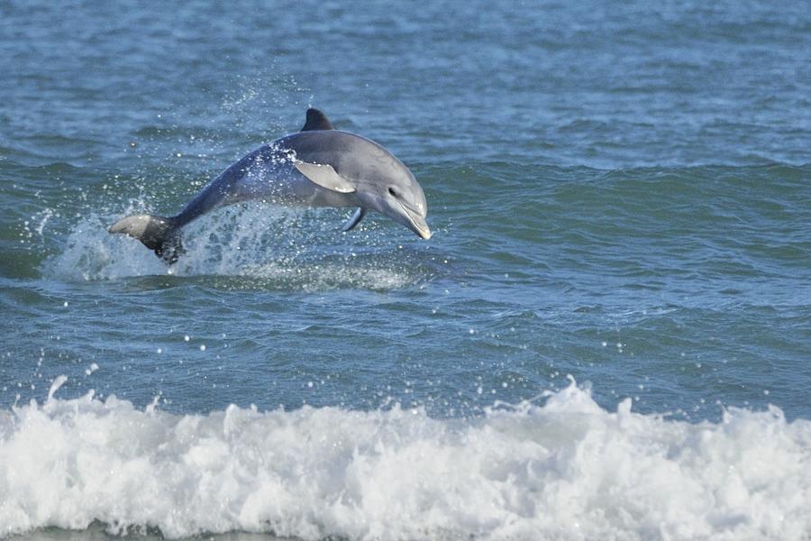 Surf Dolphin by Bradford Martin