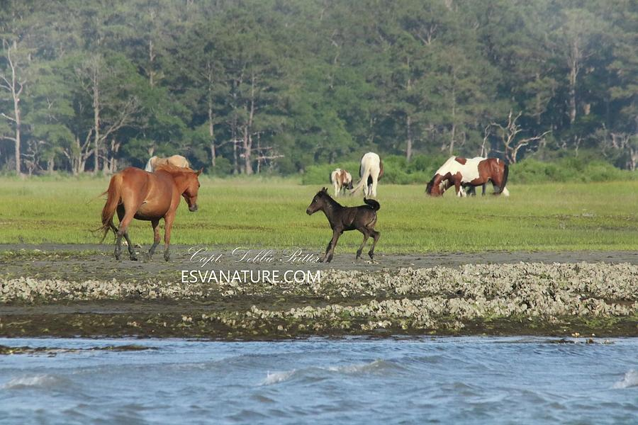 Wild Horses Photograph - Surfin Chantel Riptide Foal B by Captain Debbie Ritter