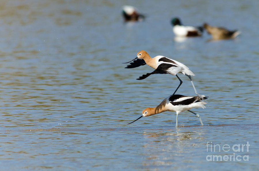 Avocet Photograph - Surfs Up by Emily Bristor