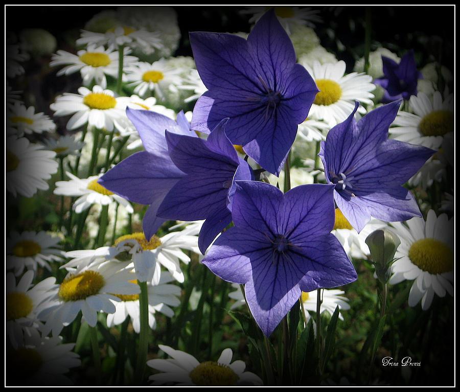 Daisy Photograph - Surrounded By Daisies by Trina Prenzi