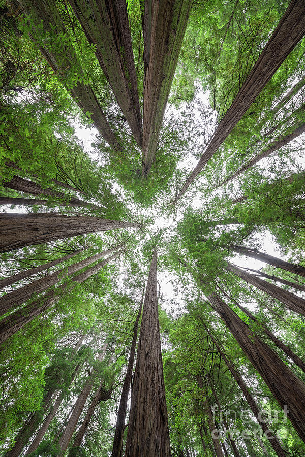 Muir Woods Photograph - Surrounded By Giants by Michael Ver Sprill