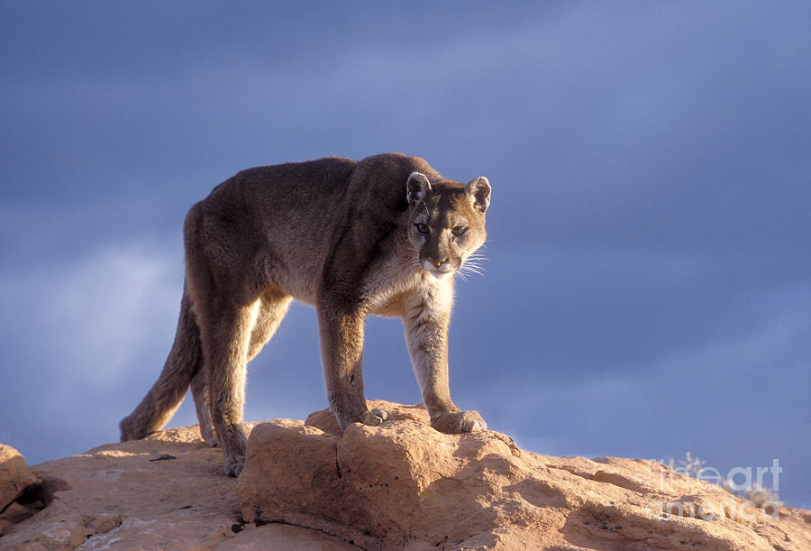 Cougar Photograph - Surveying The Territory by Sandra Bronstein