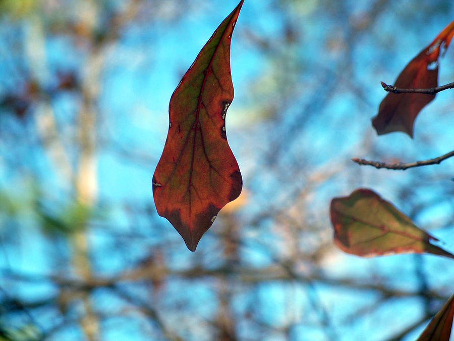 Leaves Photograph - Surviving Winter by Alexandra Harrell