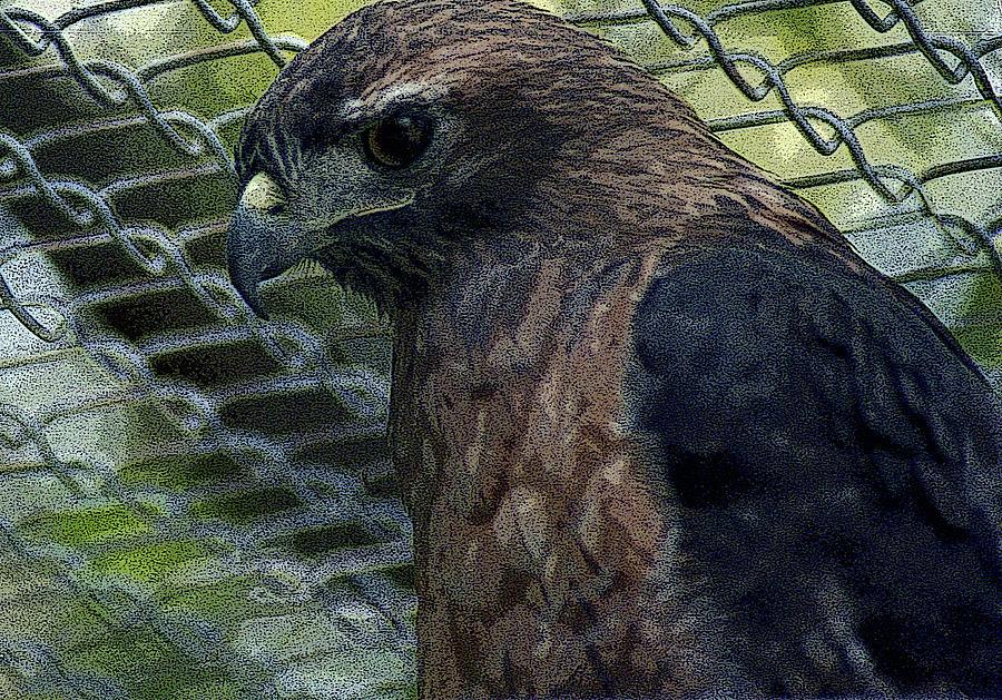 Swainson's Hawk by Maria Reverberi