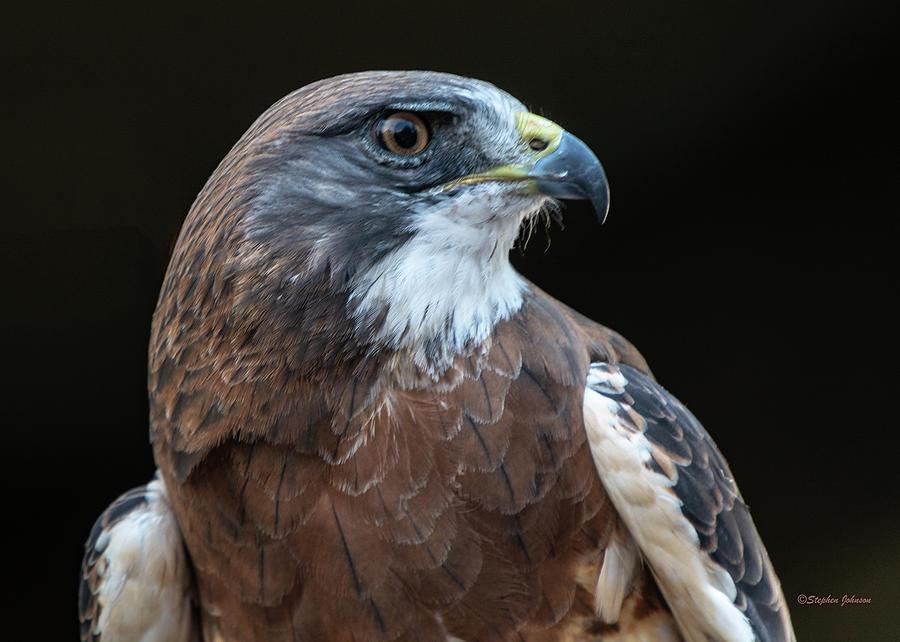 Swainson's Hawk Portrait by Stephen Johnson