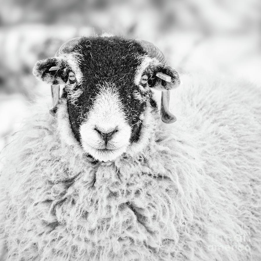 Swaledale Ewe #1 by Janet Burdon