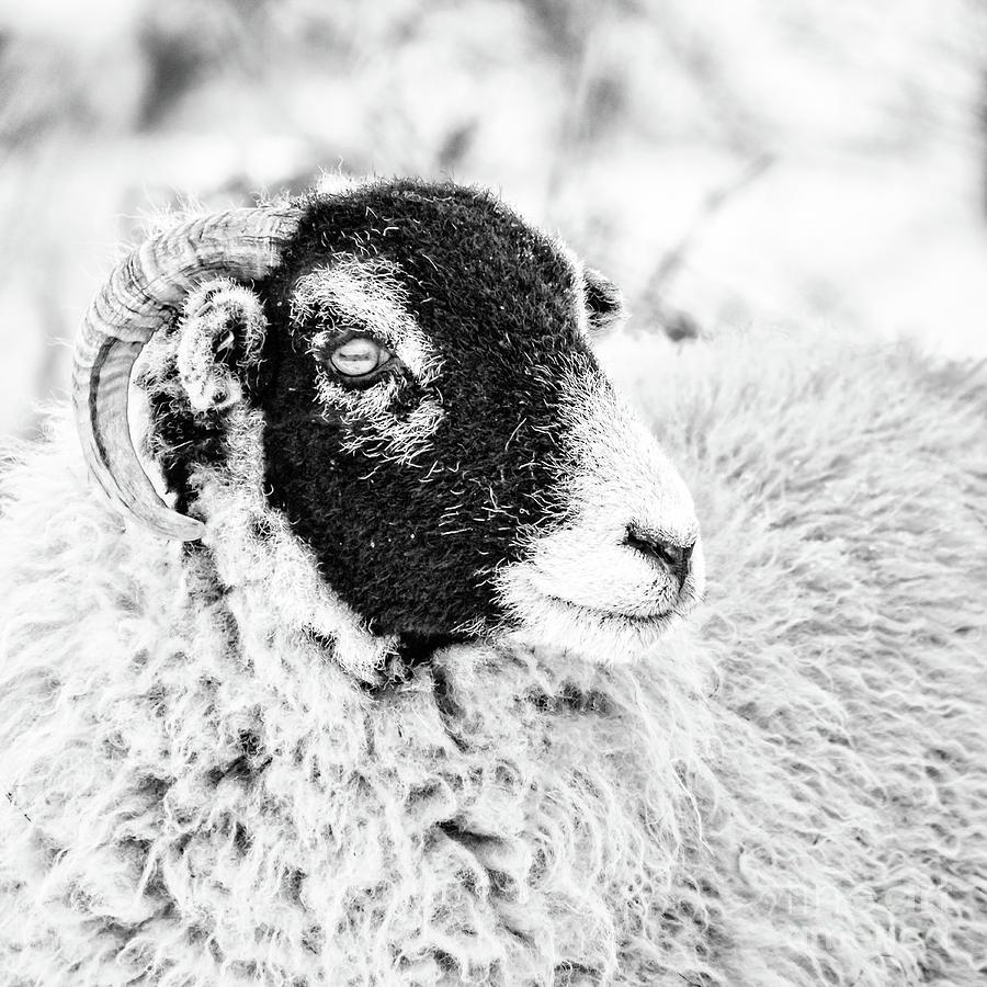 Swaledale Ewe #2 by Janet Burdon