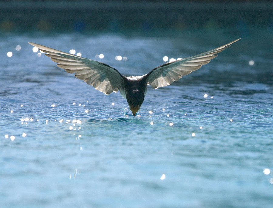 Swallows Photograph - Swallow Drinks From Pool by Bryan Allen