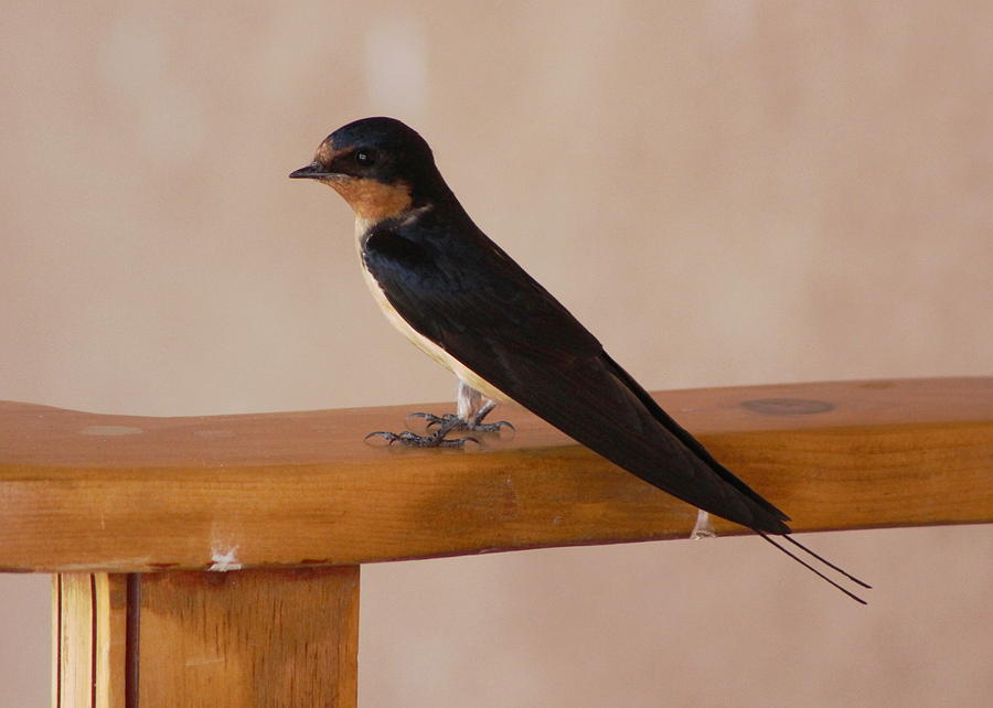 Swallow Photograph - Swallow on Bench by Colleen Cornelius