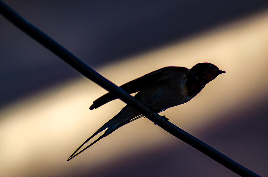 Swallow Speed by Rainer Kersten