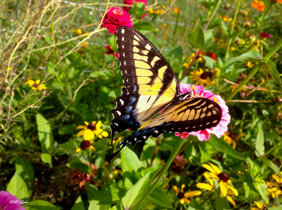 Swallowtail Photograph - Swallow Tail Butterfly Enjoying The Sunshine by Debra Lynch