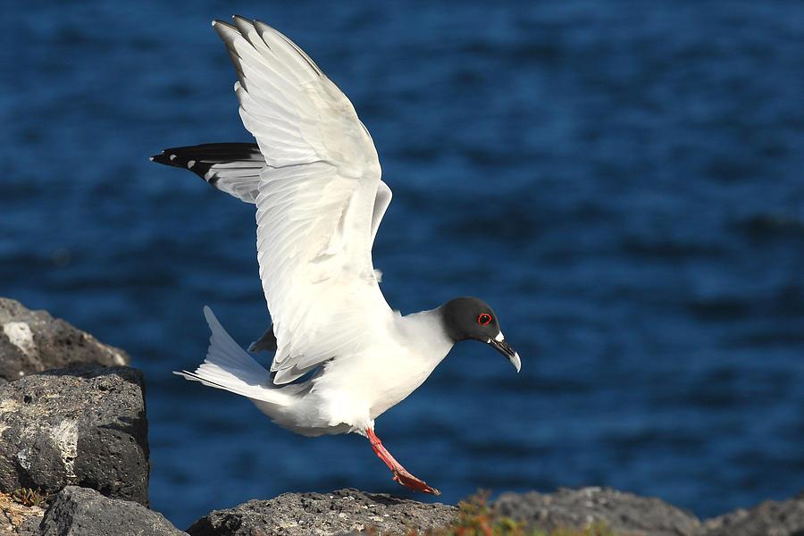 Sea Birds Photograph - Swallow Tailed Gull Landing by Alan Lenk