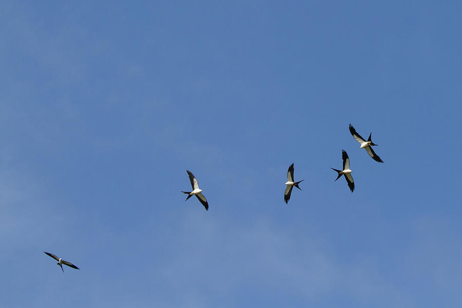 Swallow-tailed Kites Soaring Photograph