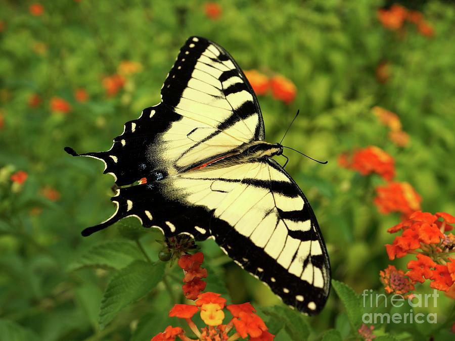Swallowtail Among Lantana by Sue Melvin