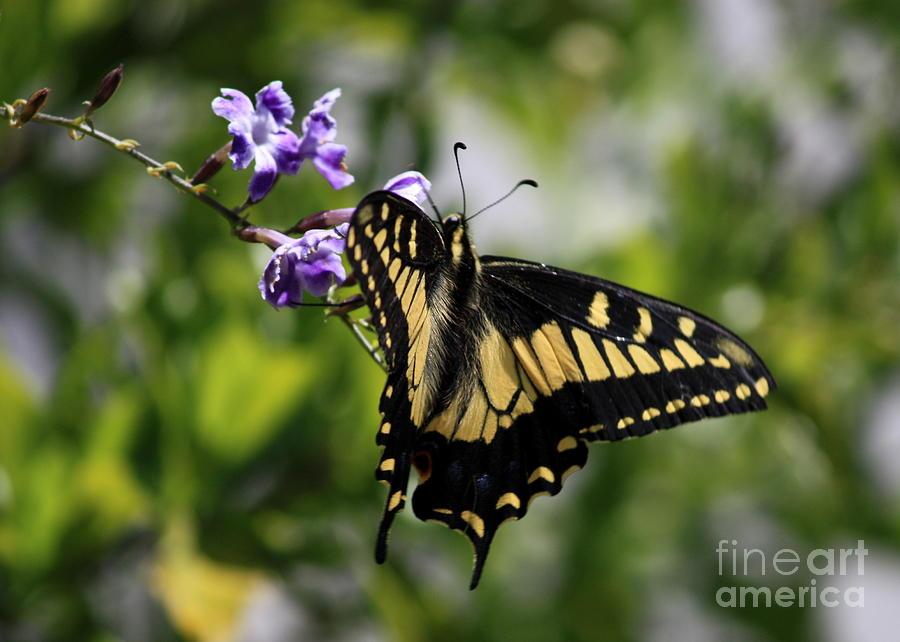Swallowtail Butterfly Photograph - Swallowtail Butterfly 2 by Carol Groenen