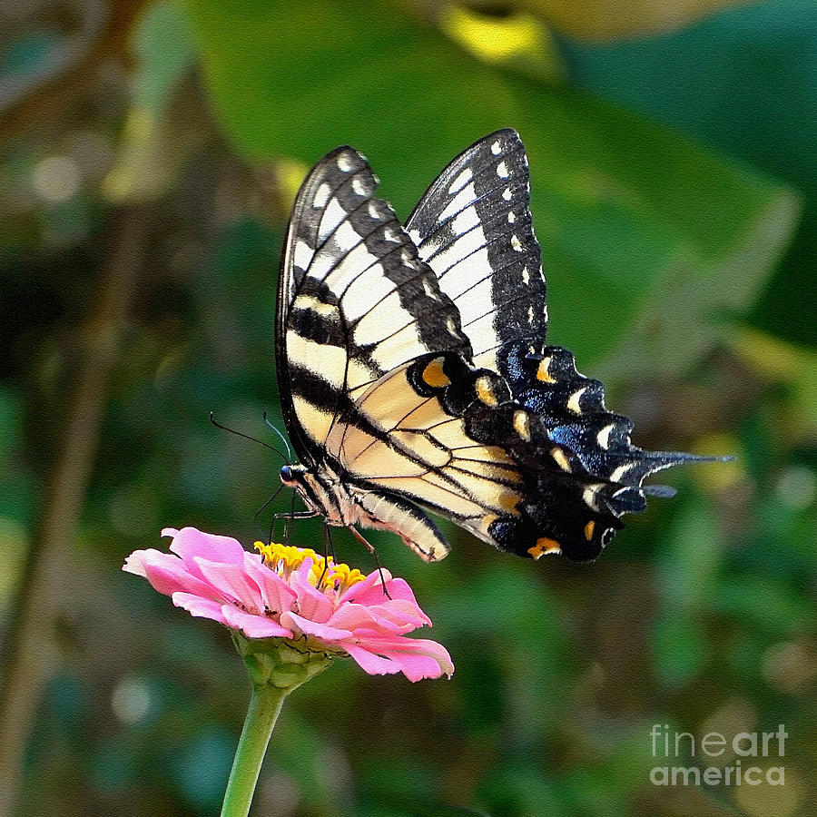 Swallowtail Photograph - Swallowtail Butterfly 3 by Sue Melvin