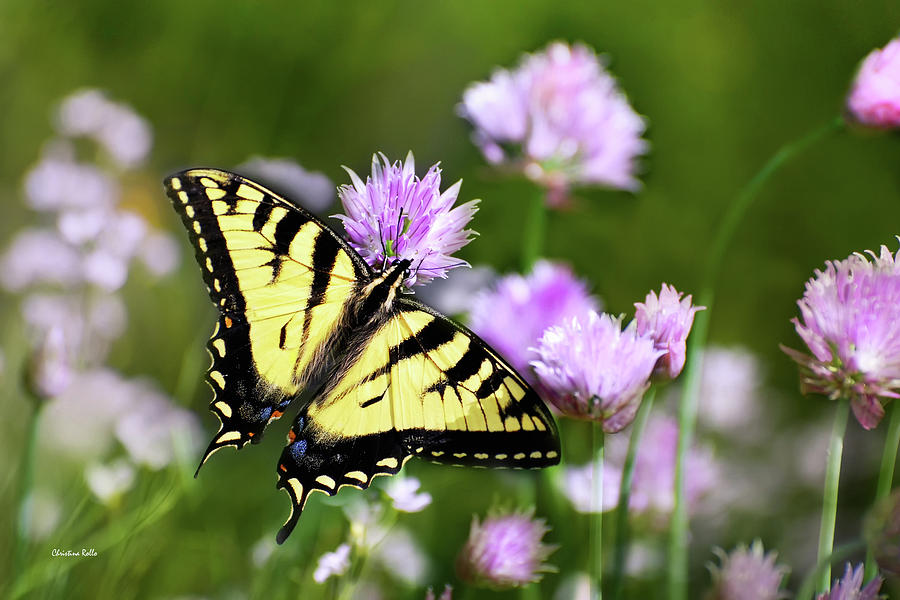 Swallowtail Butterfly Photograph - Swallowtail Butterfly Dream by Christina Rollo