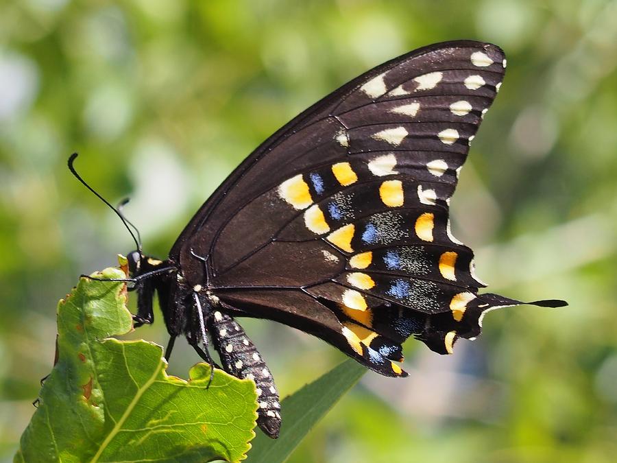 Swallowtail Photograph - Swallowtail Butterfly by Kayla Hall