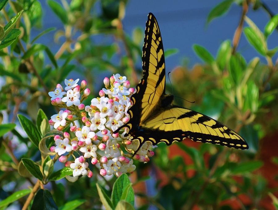 Image result for butterflies in Viburnum