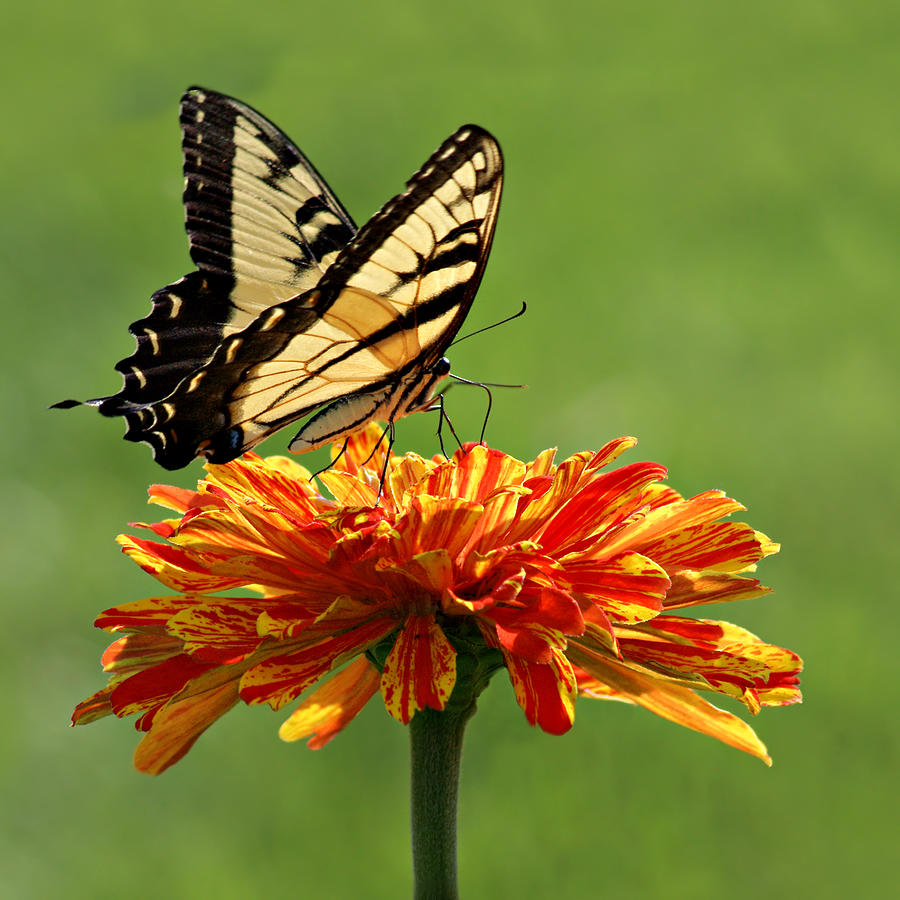 Butterfly Photograph - Swallowtail Butterfly - Zinnia by Nikolyn McDonald