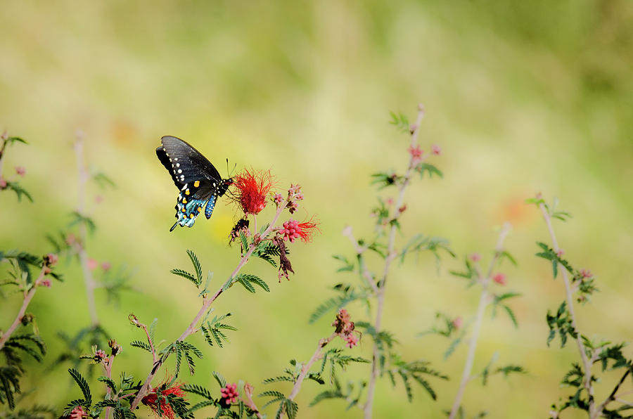 Artsy Photograph - Swallowtail by Emily Bristor