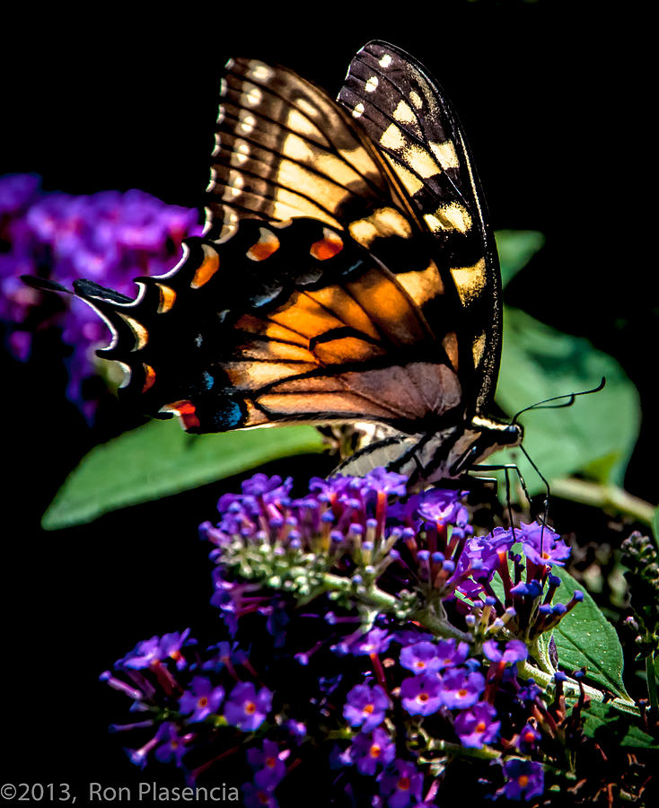 Butterfly Photograph - Swallowtail Feasting by Ron Plasencia