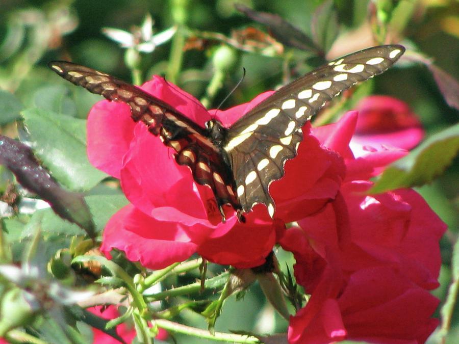 Swallowtail - Follow Me 01 Photograph