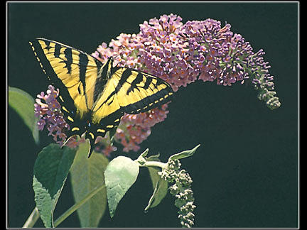 Swallowtail Photograph - Swallowtail On Butterfly Bush by Patricia Whitaker