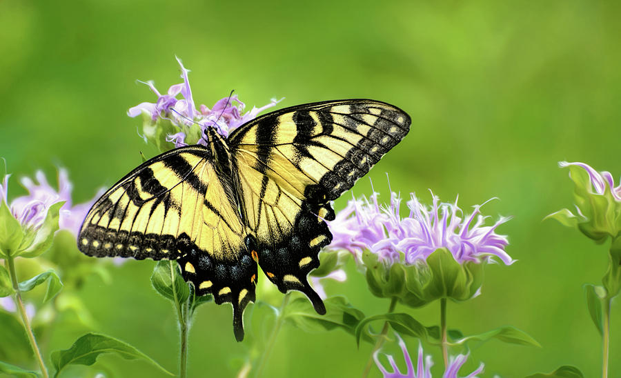 Swallowtail on Lavender Bee Balm by Wes Iversen