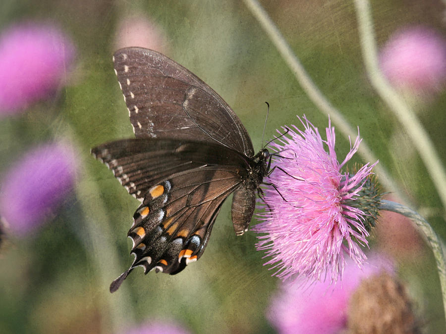 Butterfly Photograph - Swallowtail On Thistle by Charles McKelroy