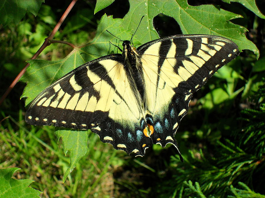 Swallowtail Photograph - Swallowtail by Peggy King