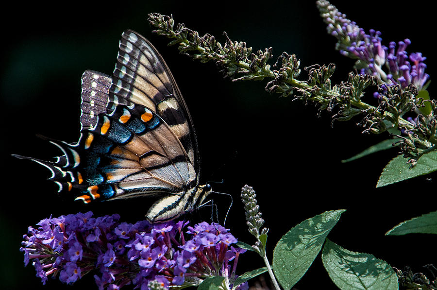 Butterfly Photograph - Swallowtail Posing by Ron Plasencia