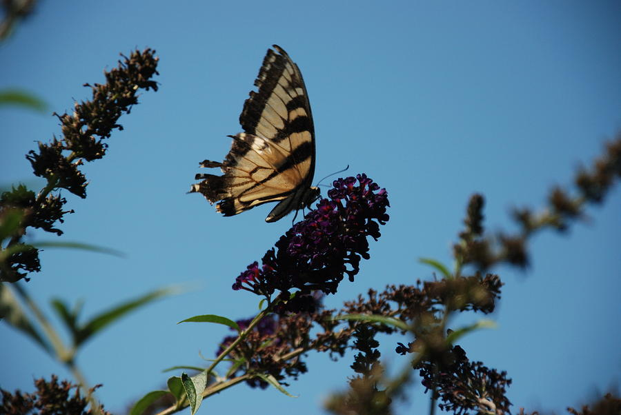 Nature Photograph - Swallowtail by William Thomas