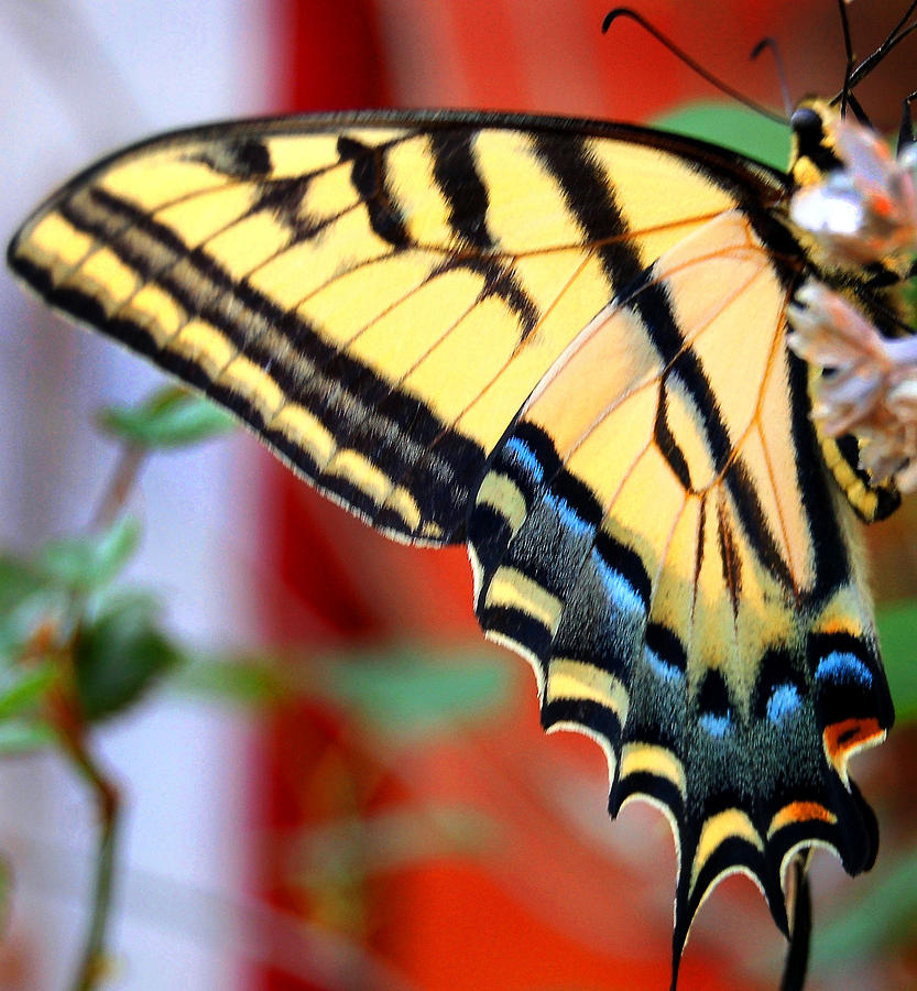 Butterfly Photograph - Swallowtail Wing by Heather S Huston