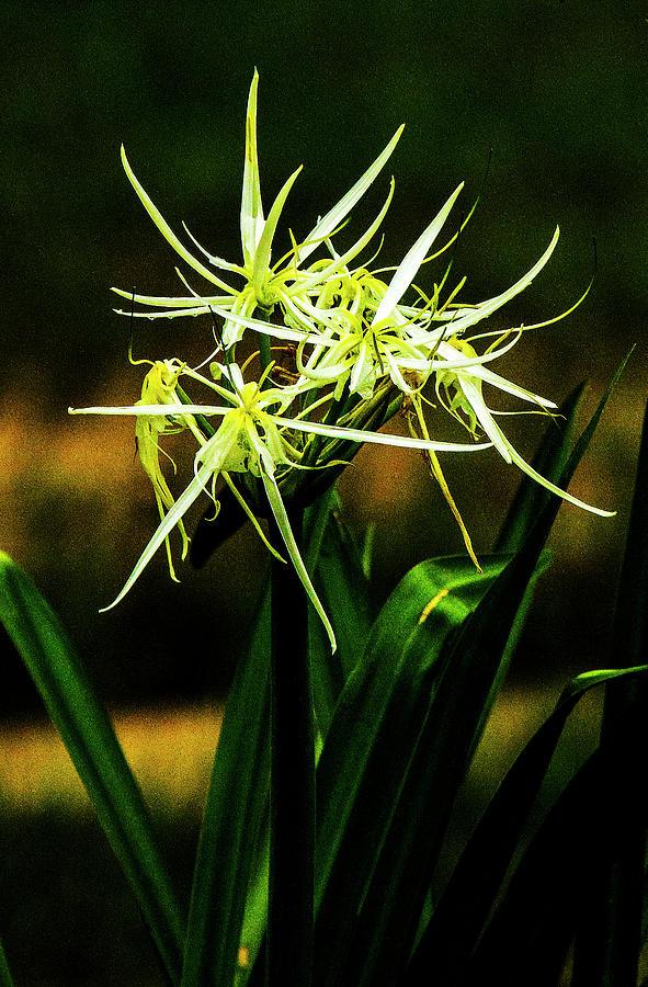 Swamp Flower Photograph - Swamp Iris - New Orleans by Jeff Kurtz