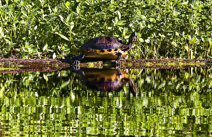 Landscape Photograph - Swamp Turtle Sunning On A Log by Michael Whitaker
