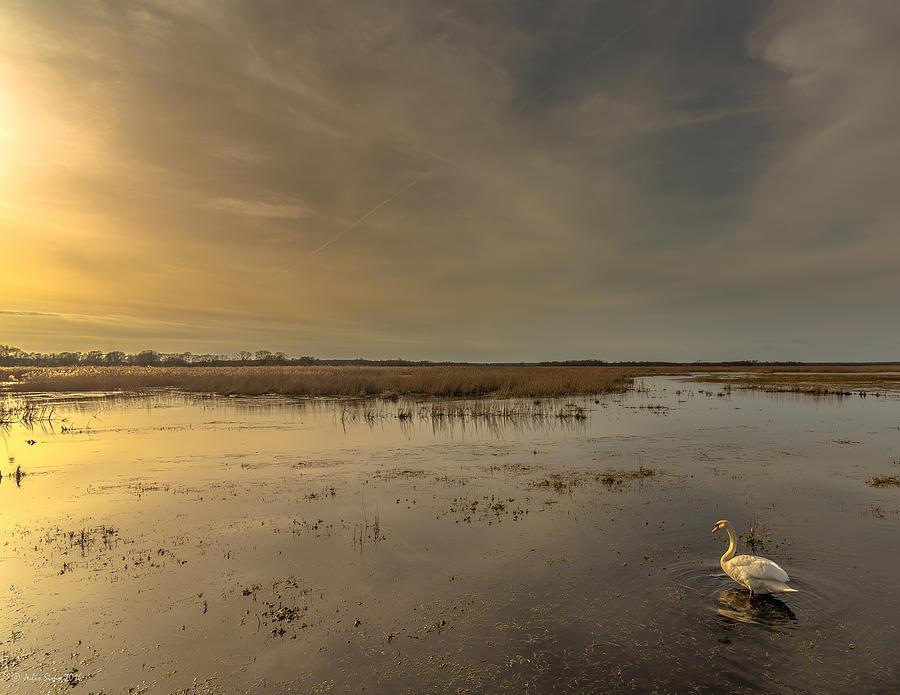 Swan At Sunset Photograph
