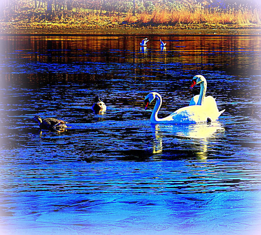 Swan Photograph - When It Seems Like The Swans Are Ruling The Sea  by Hilde Widerberg