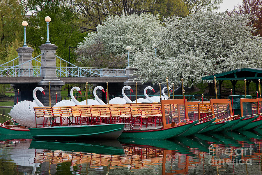 Apple Blossoms Photograph - Swan Boat Spring by Susan Cole Kelly