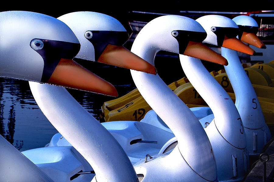 Swans Photograph - Swan Boats by Robert Lacy