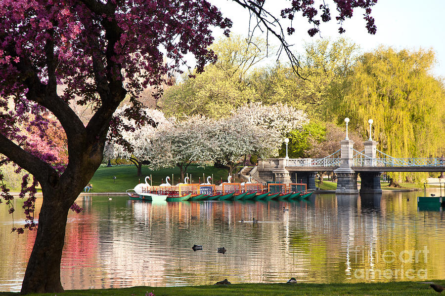 Apple Blossoms Photograph - Swan Boats With Apple Blossoms by Susan Cole Kelly