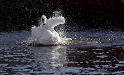 Swan Dance Photograph by Jane Baron