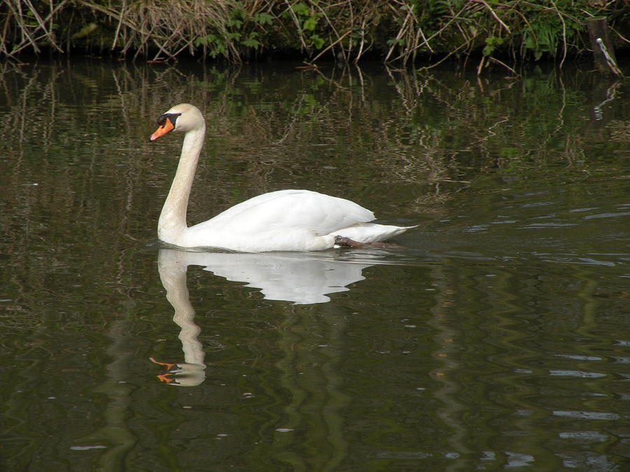 Swan Photograph - Swan Facing Left by Shannon Labout