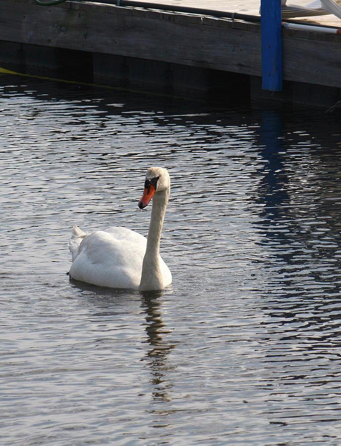 Birds Photograph - Swan by Gerald Mitchell