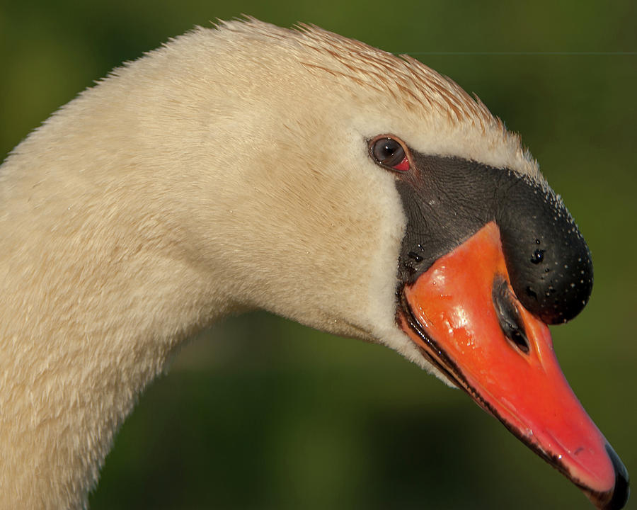 Swan Headshot by Paul Johnson