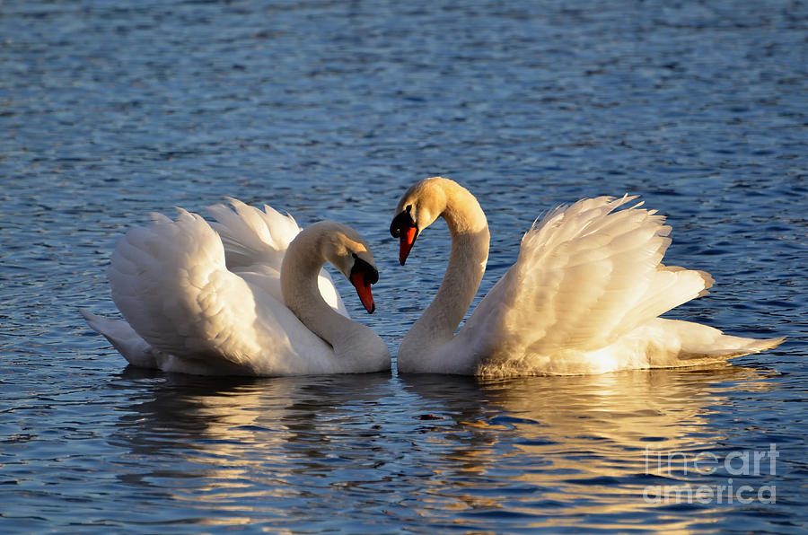 Swan Photograph - Swan Heart by Mats Silvan